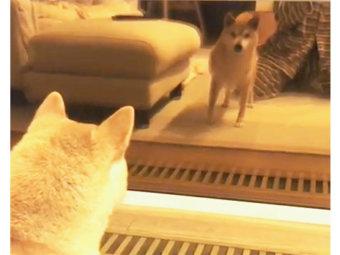 柴犬,闘争モード