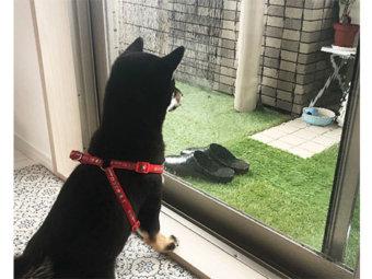 柴犬,雨の日