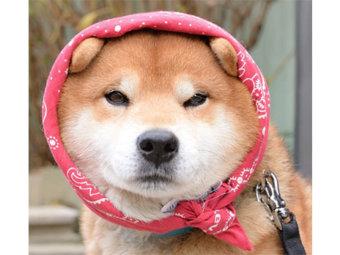 柴犬,ほっかむり
