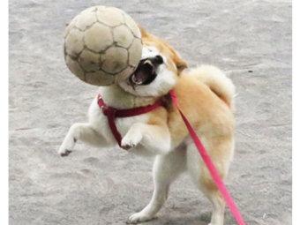 柴犬,失敗