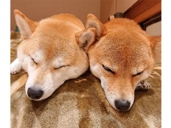 柴犬,左右対称