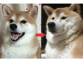 柴犬,成長