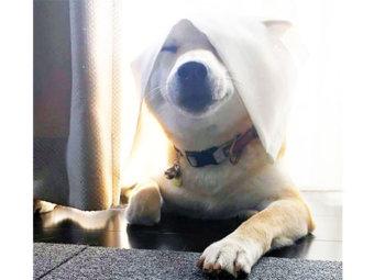 柴犬,カーテン芸