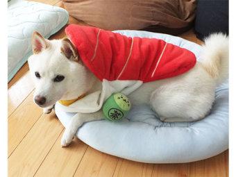 柴犬,寿司