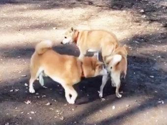 柴犬,柴犬トリオ