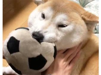 柴犬,愛情表現