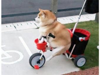 柴犬,三輪車