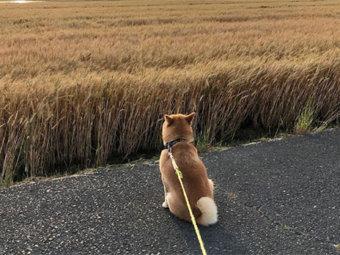 柴犬,背中