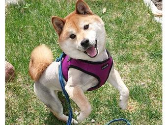 柴犬,サマーカット