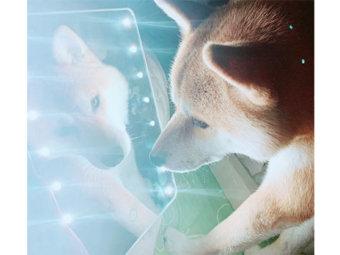 柴犬,美意識