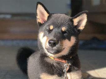 柴犬,三日月目