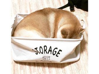 柴犬,箱入り