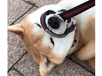 柴犬,拒否柴