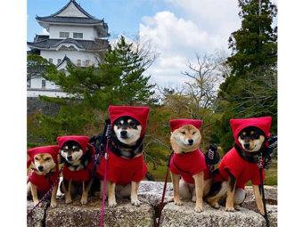 柴犬,忍者