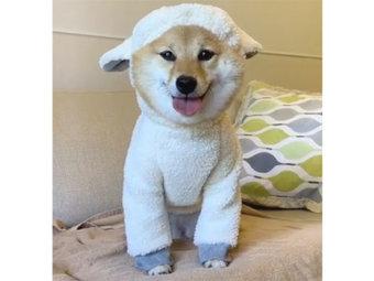 柴犬,動物コスプレ
