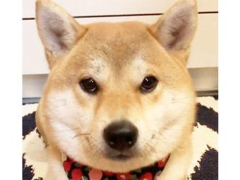 柴犬,イタズラ