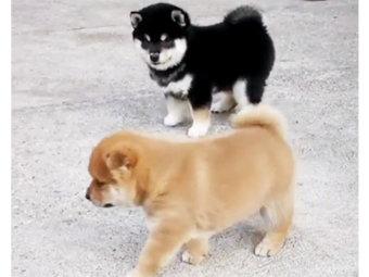 柴犬,かまって