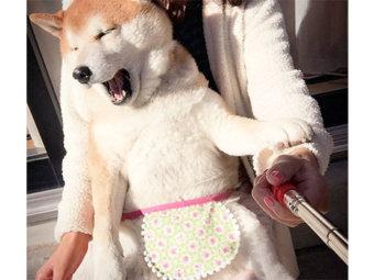 柴犬,エプロン
