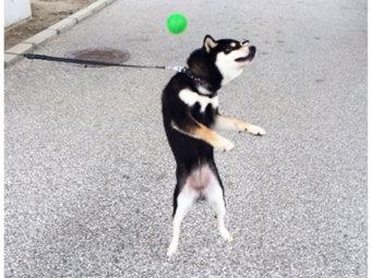 柴犬,ジャンプ失敗