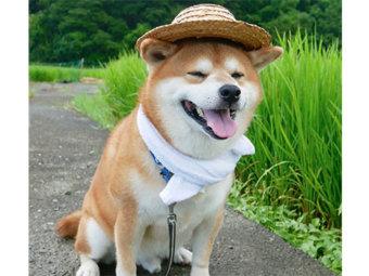 柴犬,麦わら帽子