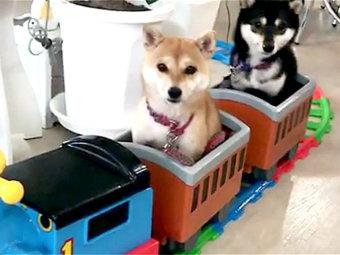 柴犬,電車
