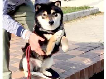 柴犬,犬かき