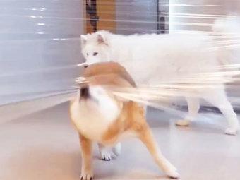 柴犬,チャレンジ