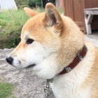 柴犬,マムシ