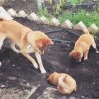柴犬,ホリホリ