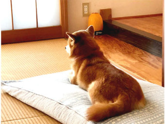 柴犬,和室