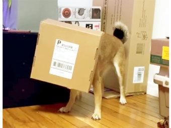 柴犬,ダンボール遊び