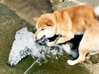 柴犬,水飲み
