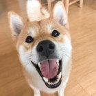 【プロが教える!元気を育てる柴ごはん】#1柴犬の食事「きほんのき」