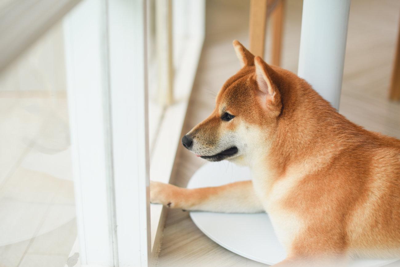 柴犬,ジアイーノ