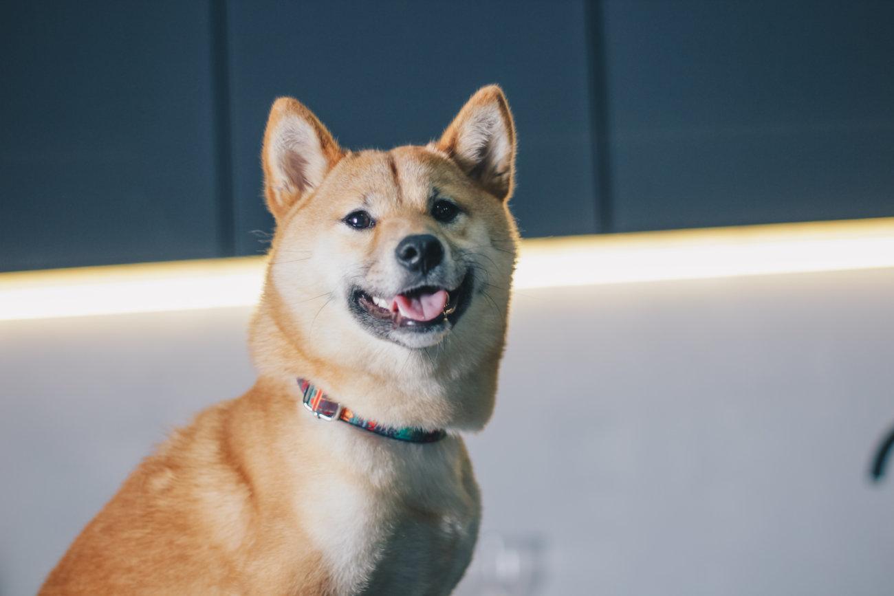 柴犬,ペットシッター,ぱうわん