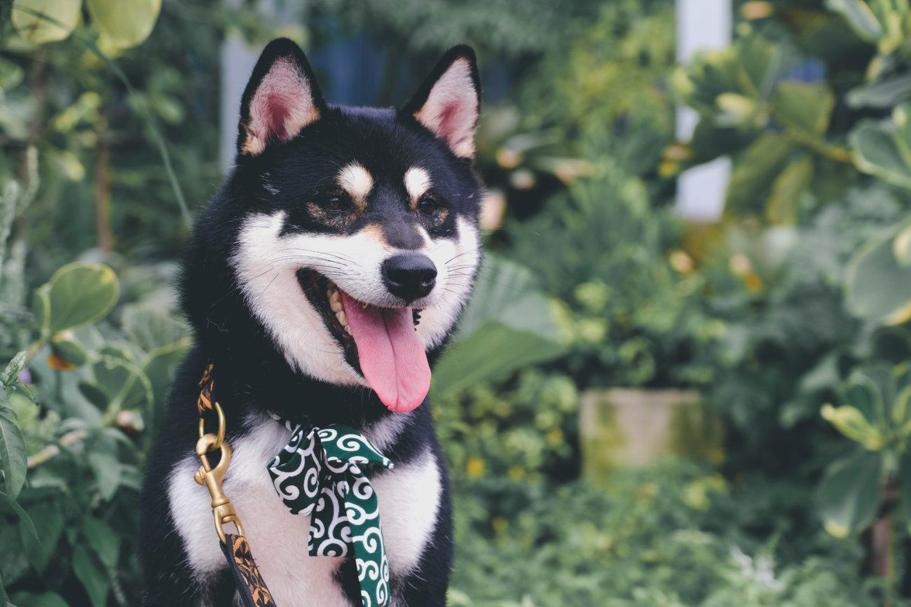 カートラジャパン,柴犬