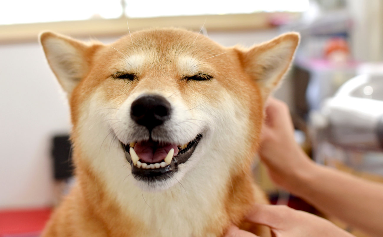 ペットシッター,柴犬