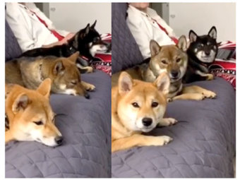 柴犬,シンクロ