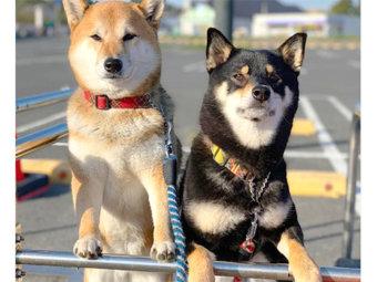 柴犬,運動