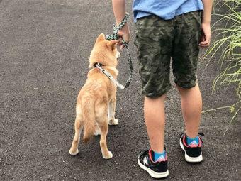 柴犬,はじめての散歩