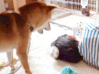 柴犬,遊んでアピール