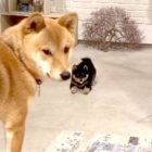 柴犬,赤ちゃん