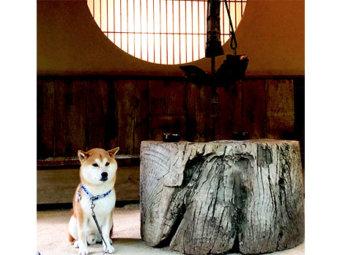 柴犬,お月見