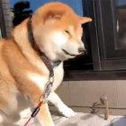 柴犬,怖がり