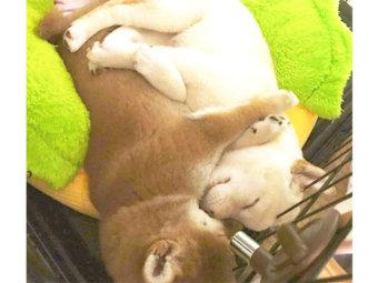 柴犬,抱き合い