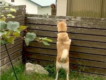 柴犬,動物