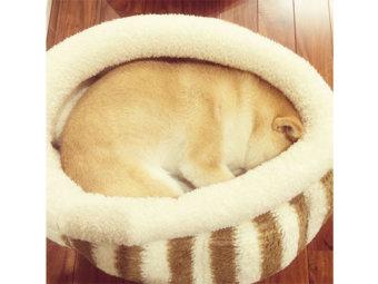 柴犬,ベッド