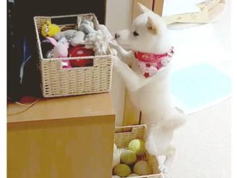 柴犬,子犬