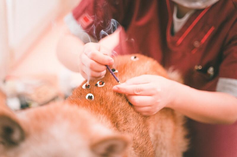 鍼灸を受ける柴