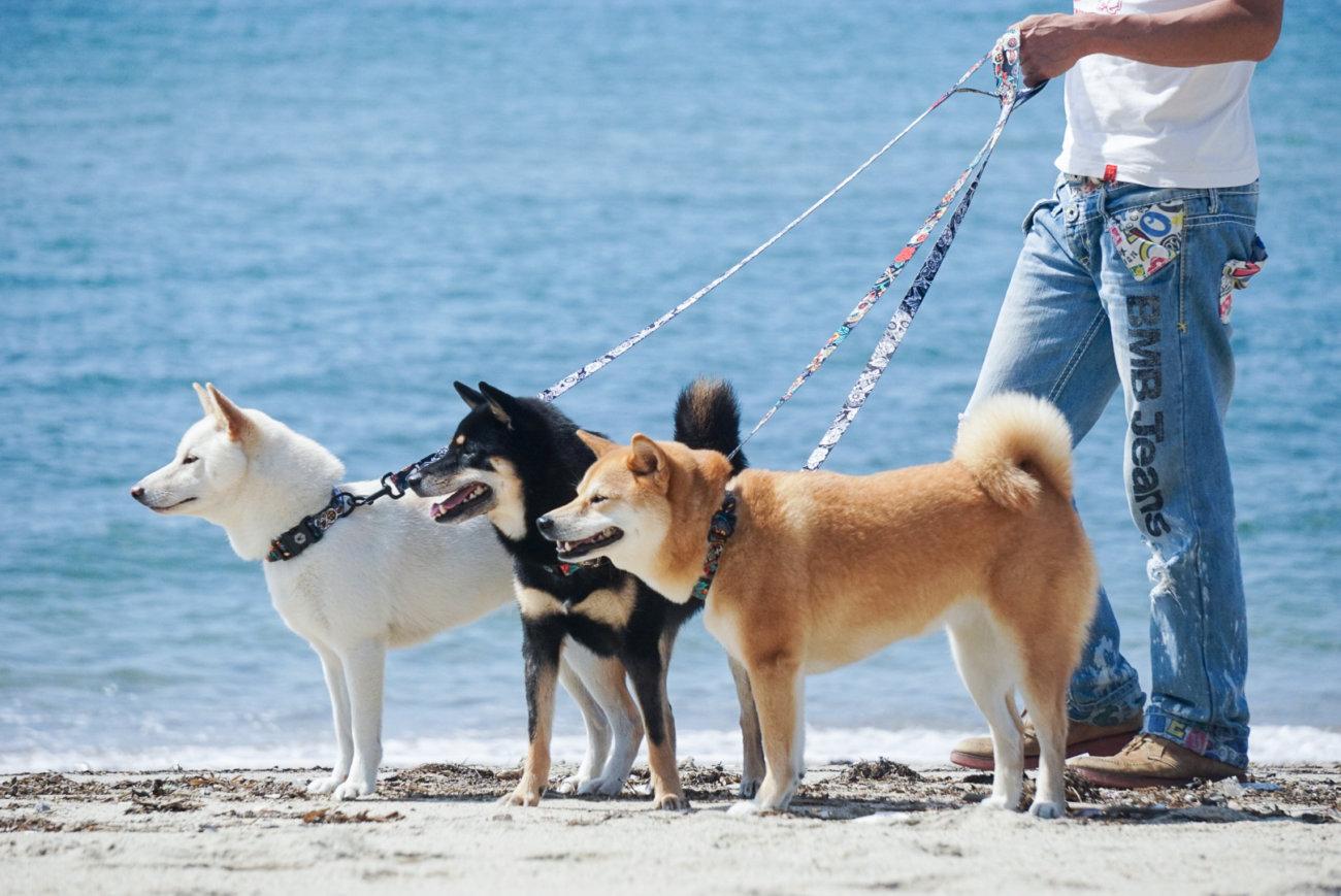 柴犬,リード,ウルフギャング